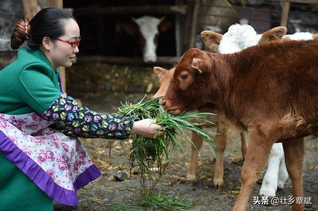 养牛注意什么?种什么草料一年四季都有供应?桂林的冬天会打霜,温度°一到十度°左右?