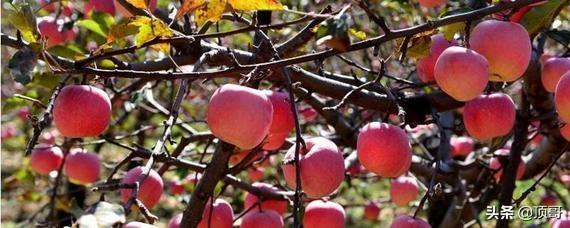 苹果树一年中施几次硼肥?
