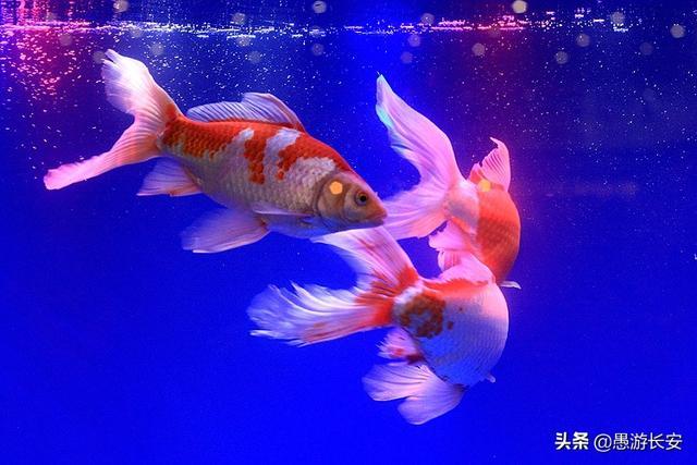 哪种斗鱼又好看又好养:哪种鱼最好养又漂
