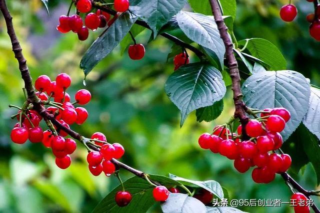 美早大樱桃有什么特点?有干腐病怎么办?