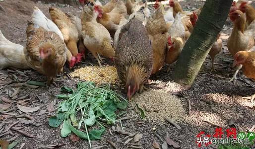 夏季给鸡吃什么草药?在农村创业搞科水狼,要怎么做(规模),收入多少才实现财务自由?(图2)