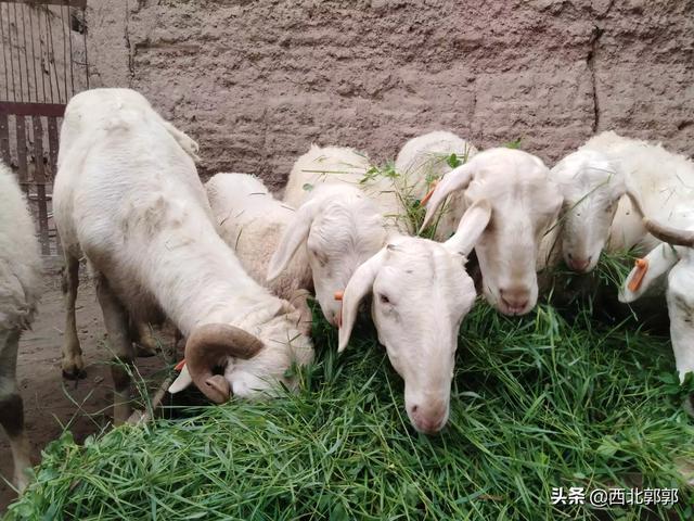 农村大力发展养殖业,养猪牛羊,鸡鸭鹅,养哪种家禽致富最快?