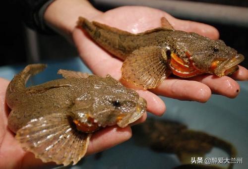 海鲈鱼和淡水鲈鱼的区别,海沪鱼和淡水沪鱼的区别?
