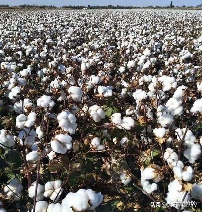 为什么国家出台了很多改策,棉花市场还如此低,对棉农打击很大?(图1)