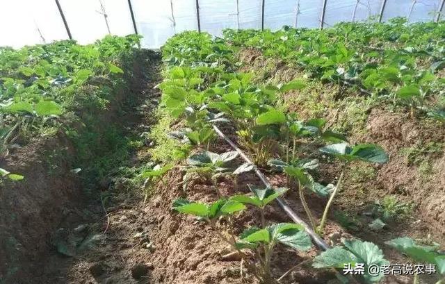 草莓移栽后第一个月,怎样用肥?()