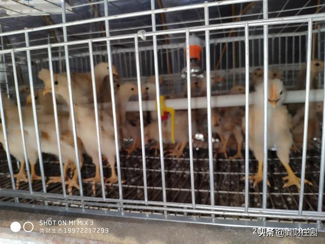 有什么样适宜湖南黄州这一代栽种或养殖业的?预备在荒地圈养肉大葱,养啥只鸡较为好?(图1)