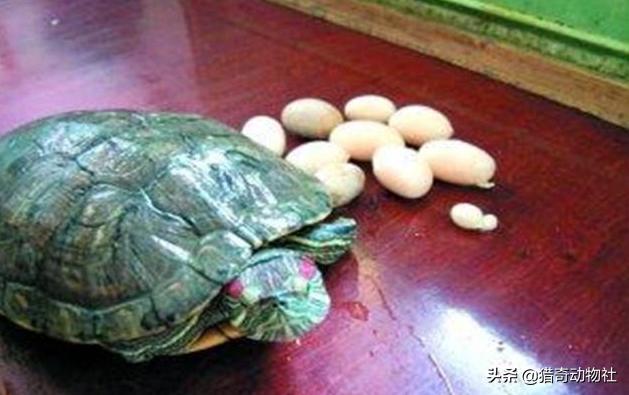 巴西龟苗多长时间长大 巴西龟最大能长多少斤 巴西龟从二斤四两长到四斤最快要多长时间?如何养殖有什么方法?