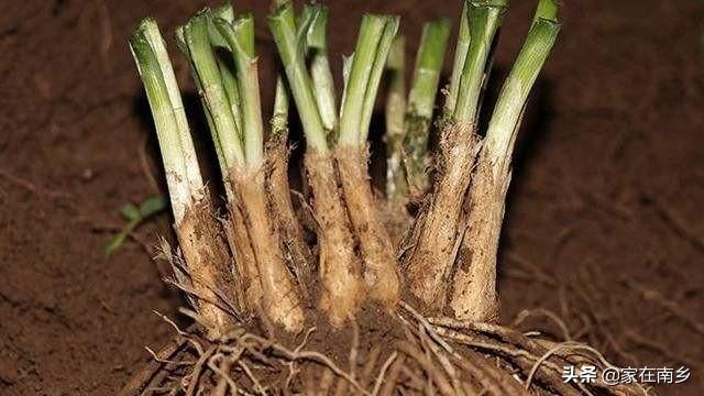 韭菜什么时候移栽最合适  韭菜根什么时候移栽好