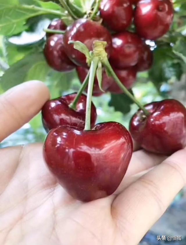天地一号樱桃和布鲁克斯樱桃哪个品种好?