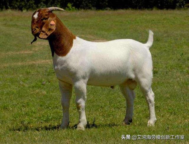 养羊养波尔羊和努比亚山羊哪个好?