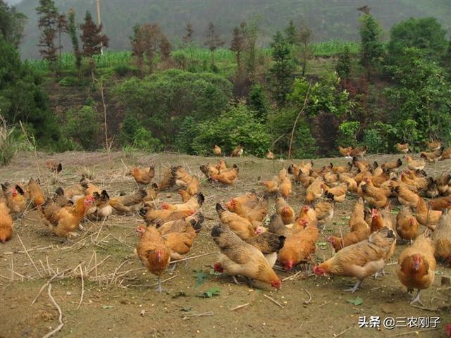 养殖的土鸡一般都销往哪些地方?