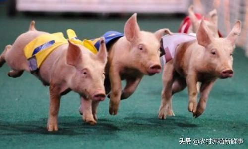 想在贫困地区养鸡,养啥头才不违犯上海警备区?那时养鸡怎么养?什么地方性可以建设?