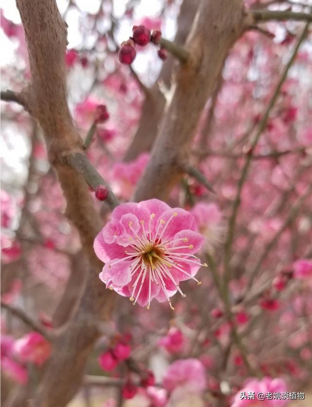 梅花树图片,梅花树的种植方法和时间?