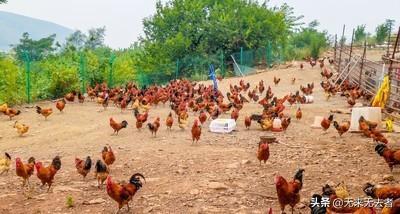 山脚下养牛要不要围起?家庭栏养牛如何圈养多产蛋?