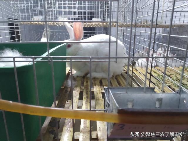 养兔子用饲料和用牧草哪个划算?要是光喂商品颗粒料可以吗?(图3)