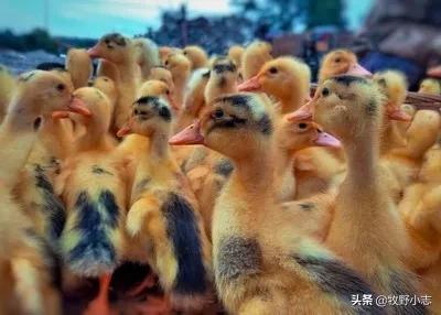 鸭棚鸭从小到大都要开电灯吗?