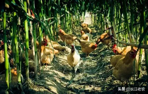小麦地里养殖业highcut,会负面影响小麦的稻谷吗?2020年,农村养牛趋势如何?