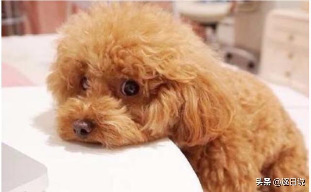 给泰迪狗狗取什么名字好听呢?