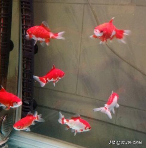 那类斗鱼好养:请把你们养的金鱼分享一下