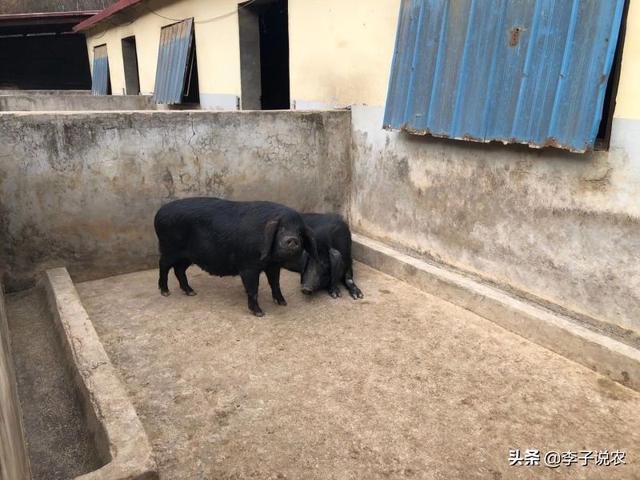 果树式的养牛商业模式为什么能在贫困地区那么盛行?建一个小牧原养牛场,养1000头猪的石屋要多少钱?