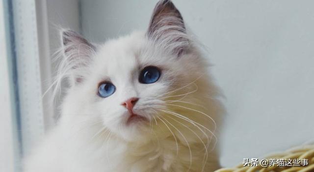 猫咪在哪买:想买一只小猫咪,可以去店里