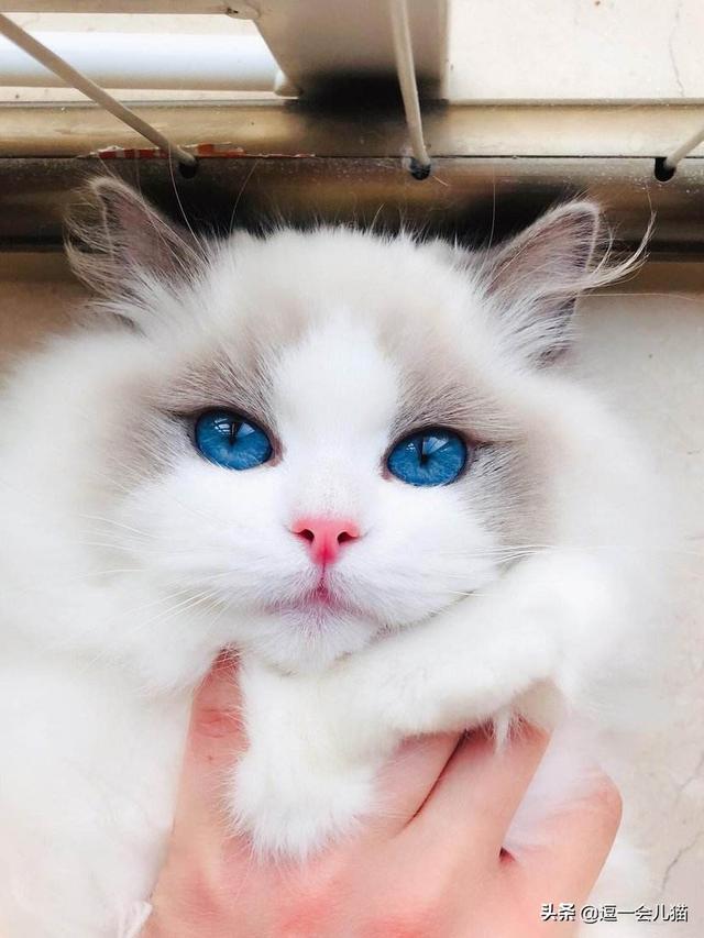 太平洋在线手机版下载:买了布偶猫几天就不想养