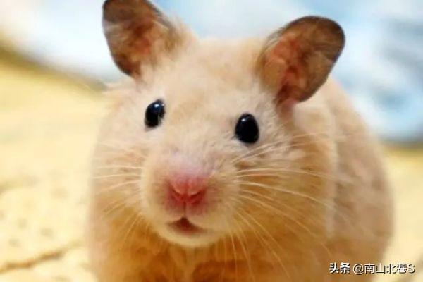 仓鼠认可主人的表现,仓鼠信任主人的表现有哪些?