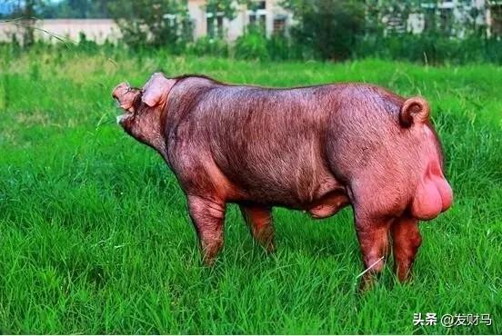 大型养养猪场招人2600一个月,是自己养还是去给别人养?回农村老家创业面对几十亩山地不知所措?该种植