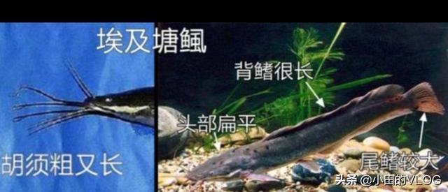 鱼类图片,江鲢和胡子鲢怎么区分图片?