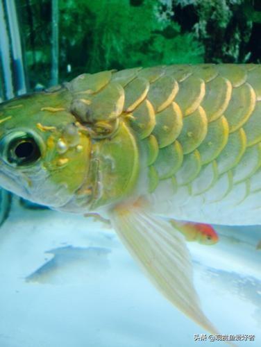药水泡过金龙鱼过背:龙鱼长水泡是什么病