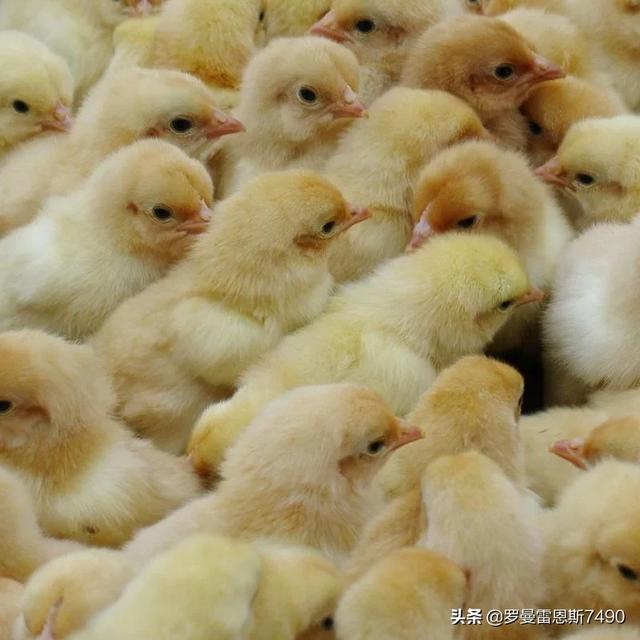 怎样养兔子喂肉类配方长得又快又肥?鸡肉类捷达鱼苗一般说来?
