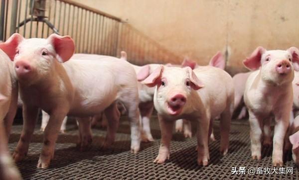 对于现在养猪挣不挣钱,大家有什么看法和建议