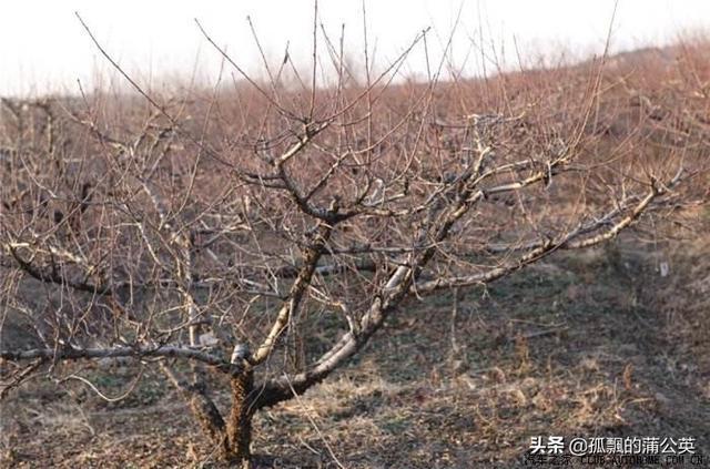 如何管理桃树,才能让桃树安全越冬?