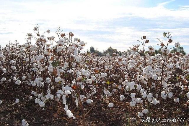 为什么国家出台了很多改策,棉花市场还如此低,对棉农打击很大?(图2)