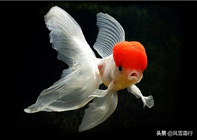 金鱼的饲养方法(银龙鱼怎么养及喂养技巧)
