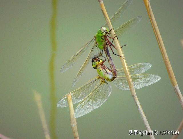 蜻蜓点水的目的是什么(蜻蜓点水戏荷花)