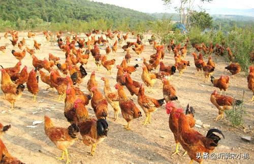 想在农村从事养殖业,比如养鸡养鸭如何?