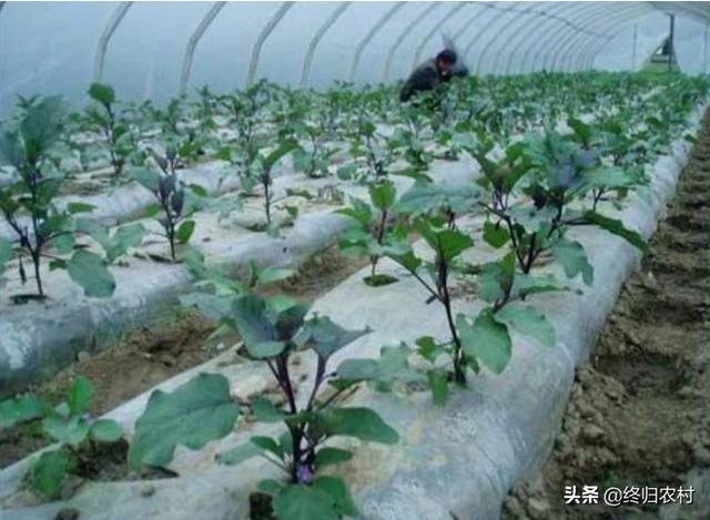 大棚蔬菜栽培,菜农在铺地膜的时候需要注意哪些问题?