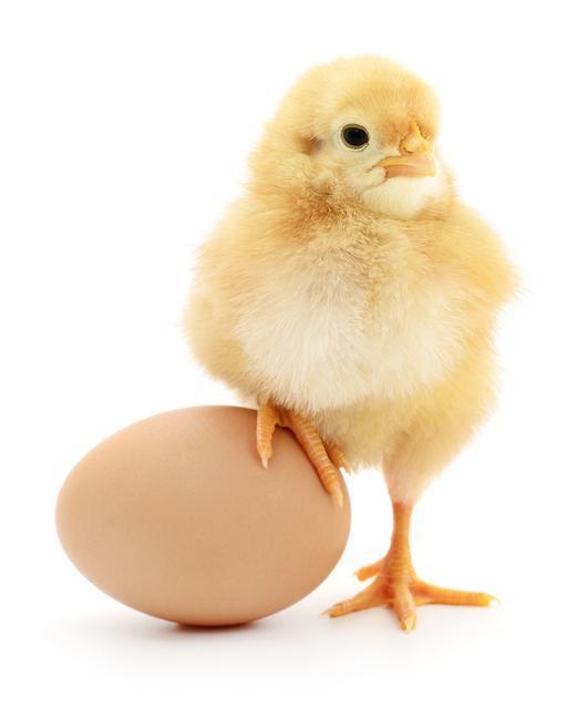 急,求高手:出生不到一周的小鸡,低头,站不稳四脚朝天什么病?怎么办?
