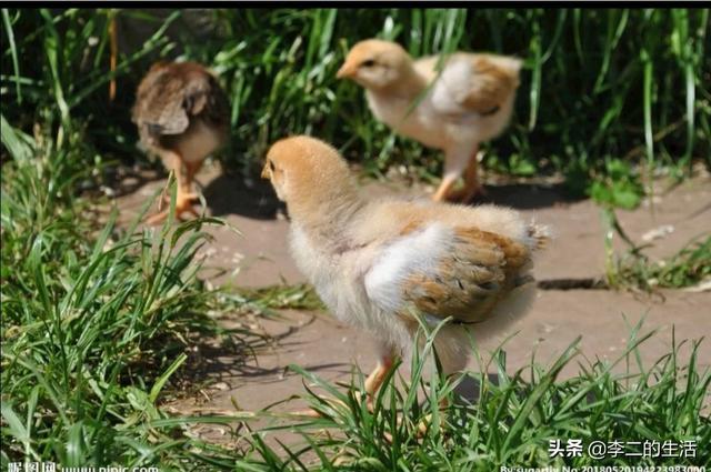 茶树下养大葱?农民的这种绿色生态育苗商业模式,赚得到钱吗?一只挑食的猪,最后会怎么样?