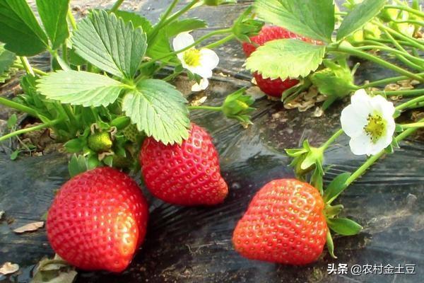 草莓开花结果时,苗长势旺盛怎么控制?
