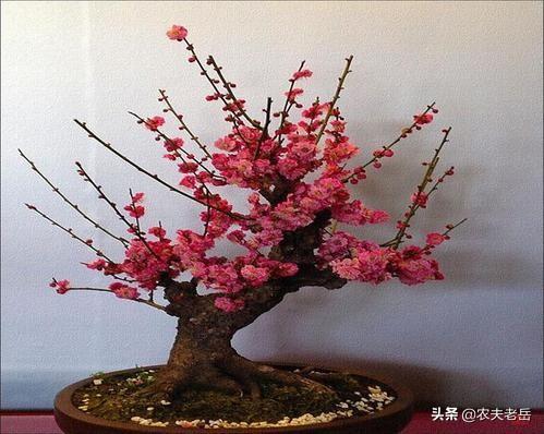 梅花树图片,梅花盆景造型有哪些方法?