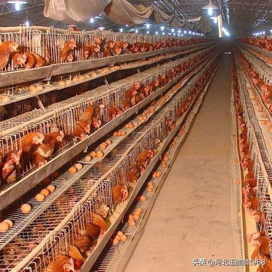 夏季产生猪如何管护?我家在湖北在澧县一个偏僻农村,想养鸡,山坡上养,要怎样入门?