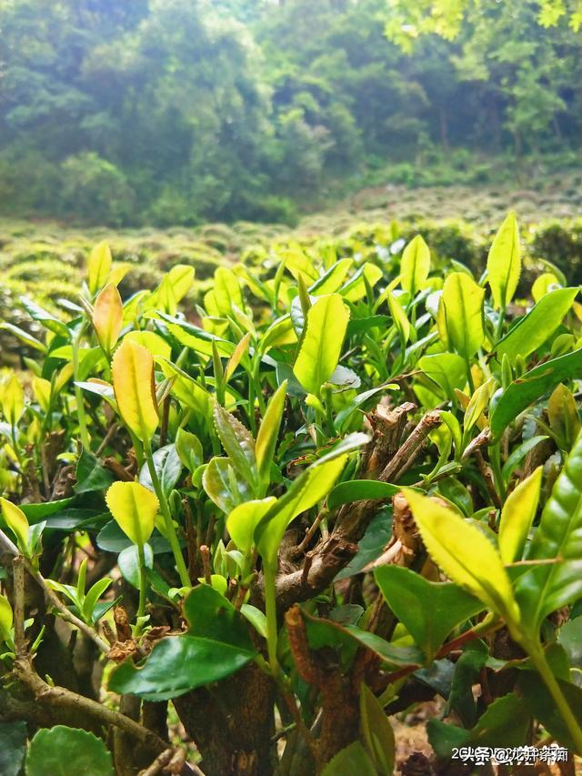 哪里的绿茶最好(哪里的绿茶最好喝最出名)
