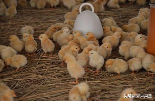 养鸡用什么药比较好?都说农村特色养殖业可以致富,哪些养殖业项目属于特色养殖业?