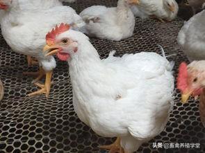 今日817毛鸡价格,817肉鸡到年底还会涨价吗?