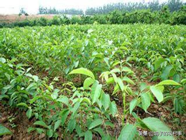 临安山核种子秋播当年会出苗吗?