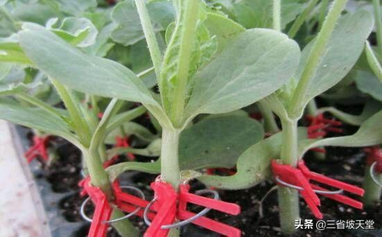 正宗泰国红宝石青柚苗、泰国红宝石青柚好吃吗、泰国红宝石柚子