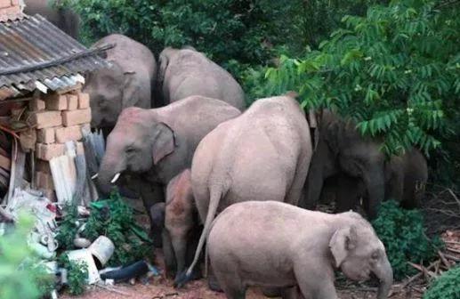 云南野象到墨江通关 为什么近期关于云南野象的
