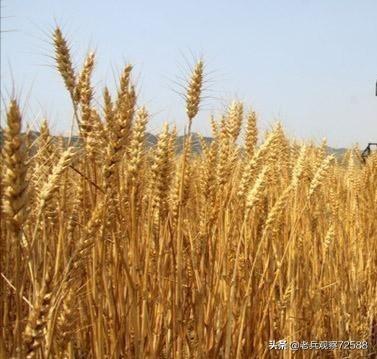早熟小麦已收割,一斤7毛,农民为何不存起来,